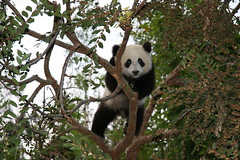 Hi everybody (kjdrill) Tags: bear zoo cub sandiego giantpanda pandas sdzoo sulin