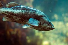 Rockfish, I think?