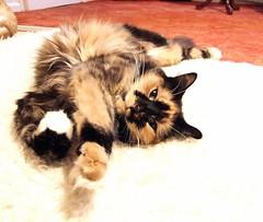 Rosie. (andrewlee1967) Tags: england cat rosie tortie moggy helluva andrewlee instantfave cc100 p1f1 andrewlee1967 bfv1 tunafished andylee1967 focusman5