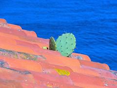 Un toit à Collioure et un cactus (jeanmichelchuiche) Tags: blue cactus mer france nature opuntia collioure toit toiture tuiles oponce piquants