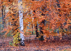 autumn trees (piktorio) Tags: park wood autumn trees berlin fall leaves germany offshore foliage