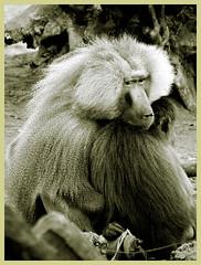 big hug baboon (patries71) Tags: love hug baboon beeksebergen baviaan s5600 mantelbaviaan patries71 akassignmentgrayscale