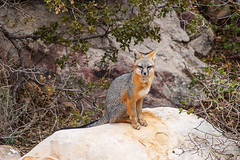 Gray Fox II  Red Rock Canyon, Nevada (James Marvin Phelps) Tags: redrockcanyon las vegas red cute animal rock photography james furry wildlife nevada gray canyon fox phelps grayfox urocyoncinereoargenteus mandj98 virtualjourney virtualjourneygallery
