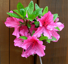 Azalea Bouquet (photoholic1) Tags: pink flowers summer flower nature ilovenature azalea bouquet