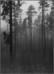Pygmæi Hic Habitant ([ Petri ]) Tags: bw mist pine forest finland bosque niebla finlandia 1on1photooftheday laitmanintie