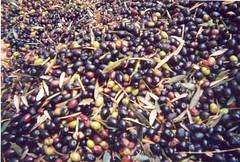 الزيت الزبتون مخصب للنسل يفيد 304333014_1b70e01090