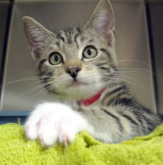 Ducky, a Little Boy Kitten at the Humane Society ~ EXPLORED (Pixel Packing Mama) Tags: adorable awww catsandkittensset ort cutekittens tabbycats exclamationpoints thecatsmeow catlovers heartlandhumanesociety top20cats pixelpackingmama dorothydelinaporter favorites15 worldsfavorite i500 5favesandlessthan100viewswhenadded montanathecat~fanclub catcentury thetabbycatgroup 5f100v bonzag favoritedpixset mostinterestingaccordingtoflickralgorithmset spcacatspool cc2400 universityoforegonoonakittynamedducky interestingness49630nov06 catsthatqualifytobeinthecatsmeowgroup exclamationpointspool pixwithexclamationpointsincommentsset reallyunlimitedpool views1000andupdomesticcatsonlypool uploadedsecondhalfof2006set exclamationpointsincommentsset chosenbyflickrexploreset kittenswithmittenspool tabbyliciouspool oversixmillionaggregateviews over430000photostreamviews