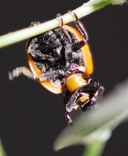 Ladybug Underside Study A Photo On Flickriver