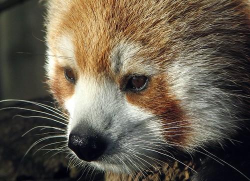 red panda standing. Red panda in sunlight