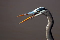 Great Blue Heron Gossip (Fort Photo) Tags: new newmexico bird heron nature birds animal mexico ilovenature nikon bravo searchthebest d70 bokeh wildlife birding 2006 aves bosque ave nm waterfowl ornithology greatblueheron bosquedelapache avian ardeidae ardeaherodias gbh ciconiiformes wildbird magicdonkey 50faves featheryfriday 300f4 birdphoto outstandingshots specnature specanimal animalkingdomelite flickrgold bestnaturetnc06 anawesomeshot bosquedelapachenationalwildliferefuge supremeanimalphoto