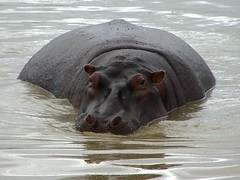 Hippo in Ngorongoro Crater (geoftheref) Tags: world africa travel heritage water animal de tanzania la site interestingness interesting flickr wildlife unesco safari ngorongoro crater afrika hippo hungry hippopotamus serengeti wildebeest sites  frica tanzanie lafrique tanznia  seekoei geoftheref dellafrica   afrikasafari