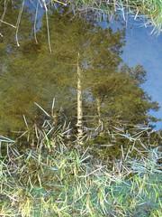 Fir (Joanpix) Tags: blue sky tree water aberdeenshire upsidedown huntly binforest