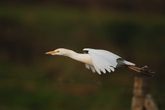 Cattle Egret (Ardeola ibis) (m. geven) Tags: holland birds vogels d200 kiss2 cattleegret bubulcusibis koereiger kiss3 interestingness234 i500 kiss1 kiss4 kiss5 animalkingdomelite abigfave 200400vr groessen ardeolaibis