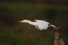 Cattle Egret (Ardeola ibis) (m. geven) Tags: holland birds vogels d200 kiss2 cattleegret bubulcusibis koereiger kiss3 interestingness234 i500 kiss1 kiss4 kiss5 animalkingdomelite abigfave 200400vr groessen ardeolaibis