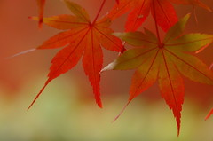 dancing leaves (kaycatt*) Tags: autumn macro leaves maple bravo searchthebest autumnleaves autumncolors momiji japanesemaple autumncolor tamron90  outstandingshots abigfave 30faves30comments300views anawesomeshot