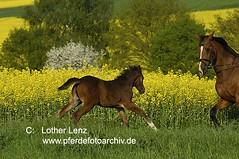 _LE30541 (Lothar Lenz) Tags: horse caballo cheval frau raps cavallo cavalo pferd hest equus paard warmblut hst gelnde fohlen hestur reiterin ausritt ausreiten konj hobu zirgs lotharlenz tohackout