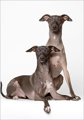 Two Italian Greyhounds (Piotr Organa) Tags: portrait dog pet greyhound pets toronto canada cute dogs beautiful face animal animals portraits studio italian nikon great d70s adorable professional sensational cutest mywinners thelittledoglaughed impressedbeauty aplusphoto pet1000 pet2000 pet1500 theperfectphotographer pet4000