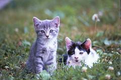 Barn cat and her other sibling (Tabbie-cats) Tags: light sun cute green grass cat outside feline ky kittens cc100 kittenmagazine kittysuperstar bestofcats impressedbeauty kittyschoice