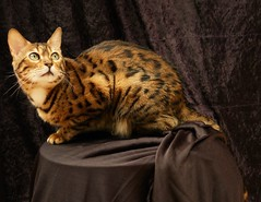 Umbria, unwilling Sunday model (tollen) Tags: cat eyes bravo whiskers spotted bengal umbria bengalcat abigfave impressedbeauty tunafished lookingatbird