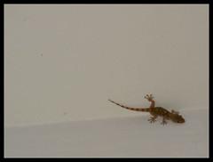 a strange pet! (marticia84) Tags: pet estate bianco soffitto rettile animaletto
