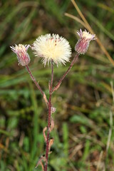 1276008795 Blue_Fleabane 2007-08-29_19:05:10 Greenham_Common