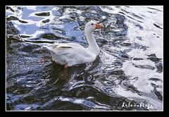 Nas guas da paz (helenabraga) Tags: gua helenabraga impressedbeauty pilgrimgoose