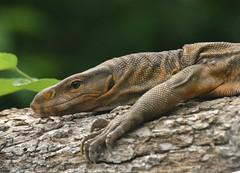 Monitor Lizard (hvhe1) Tags: india nature animal animals reptile wildlife monitor lizard lizards reptiles hennie sariska hagedis hvhe1 hennievanheerden
