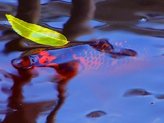 stillness....... (j_jyarbrough) Tags: orange usa black green water catchycolors georgia leaf bravo shots explore watergarden koi karma outstanding i500 outstandingshots jjyarbrough exploretop20 abigfave thisphotoisthepropertyofjjyarbroughjohnyarbroughpleasedonotusewithoutmypermissionthankyou