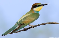 BeeEater  (Ammar Alothman) Tags: bird nature birds animal animals canon fantastic bravo flickr gulf searchthebest quality wildlife 2006 kuwait animalplanet kuwaitcity kw q8 canon100400 30d beeeater  canon30d 100400  specnature kakadoo 3mmar specanimal  mscamerainfo animalkingdomelite 5friends abigfave kuwaitwildlife kuwaitvoluntaryworkcenter