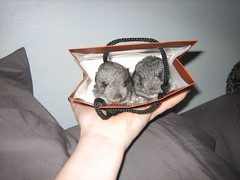 Chinchillas (chicgeekuk) Tags: baby laura bag hand fuzzy small chinchilla tiny chinchillas chins rodents kishimoto chinnies laurakishimoto chinnys laurakishimotoca