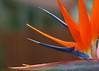 Half a Bird of Paradise (Brett A. Fernau) Tags: flower birdofparadise inmyyard cdrxt deadeyebart brettfernau utatainhalf