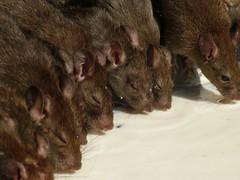 Lots Of Rats