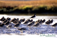 Learn to stand out from the crowd. (wildphotons) Tags: with many stilt dowitchers blacknecked himantopus mexicanus limnodromus