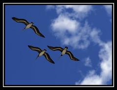 Trio de pelicanos / Trio of pelicans (*atrium09) Tags: travel blue sky pelicans topf25 birds animal topv111 azul clouds island flying venezuela topc50 olympus pajaros cielo nubes margarita trio isla volando formación e330 naturale pelicanos topvaa 25faves atrium09 challengeyouwinner mywinners abigfave bonzag colorphotoaward rubenseabra