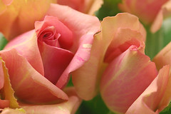 rose /magicmocca