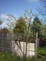 plum tree, spring (Jacqi B) Tags: england tree garden spring plumtree
