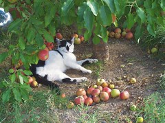 Bubba Under the Apple Tree (Trpster*) Tags: tree apple cat apples appletree cowcat threeleggedcat cc100 abigfave trpster trpsterphoto nottobeusedwithoutpermission