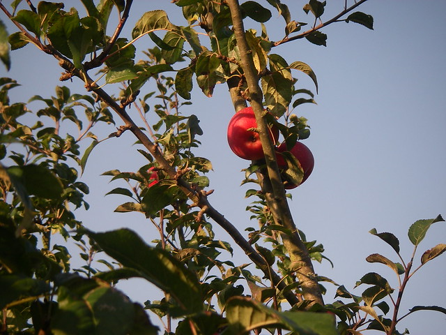 Apple tree closeup
