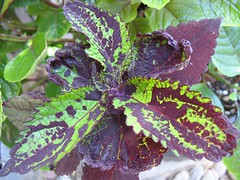 Coleus 'Dark Star Baby #1 (3 leaves/node)'