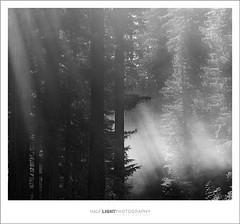 plate 566. (koaflashboy) Tags: california mediumformat landscape nationalpark 500v20f fineart duotone 12 ilfordfp4 mamiyarb67 redwoodsnationalpark 250v10f