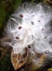 milkweed pod2
