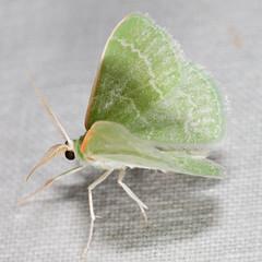 Synchlora aerata 20060904_0385 (GORGEous nature) Tags: green washington small moth september lepidoptera geometridae ennominae wa dorsal bmna synchlora synchloraaerata klickitatco majorcreekrd pineoakwoodland synchlorini mona7058 wavylinedemeraldmoth ©johndavis