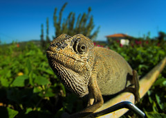 Today Has Long Day Written All Over It (Louis Dobson (formerly acampm1)) Tags: portugal bar faro lizard chameleon outstandingshots specanimal outstandingshotshighlight