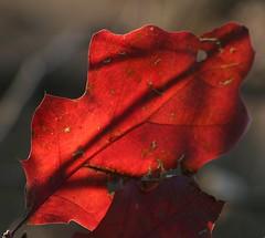 Autumn shadows (stchuck) Tags: autumn red fall leaf shadows kane leroyoaks leroyoaksforestpreserve