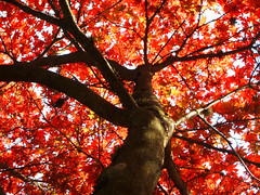 'neath the blood red canopy... (Trapac) Tags: autumn trees red england fall leaves geotagged maple branches gloucestershire momiji japanesemaple westonbirt acer trunk blogged acerpalmatum westonbirtarboretum nameme flickrdayout explored withhairbearknautiabingolittle geo:lat=51603465 geo:lon=2210484 newarboretum bloggednotinformed bloggedwithlink gtap310110