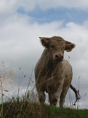 Bratty Bull