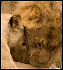 Nuzzling- Tight (~Lux Aeterna~) Tags: sanfrancisco california nikon d70 lion sanfranciscozoo specanimal
