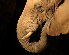 notch (mimbrava) Tags: elephant topf25 topv111 zoo topf50 topv333 bravo searchthebest quality mimbrava elephants zooatlanta africanelephant loxodontaafricana magicdonkey outstandingshots specanimals animalkingdomelite abigfave setzoo setblackground ultraselected