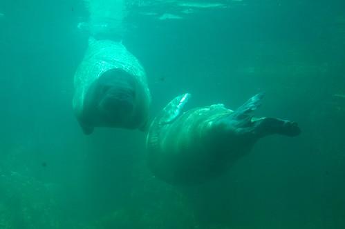 Walruses at the Coney island Aquarium