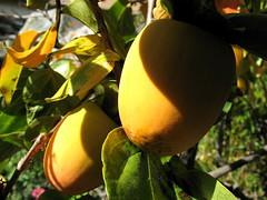 Hachiya Persimmons (joeysplanting) Tags: fruit persimmons hachiya diospyroskaki ebenaceae